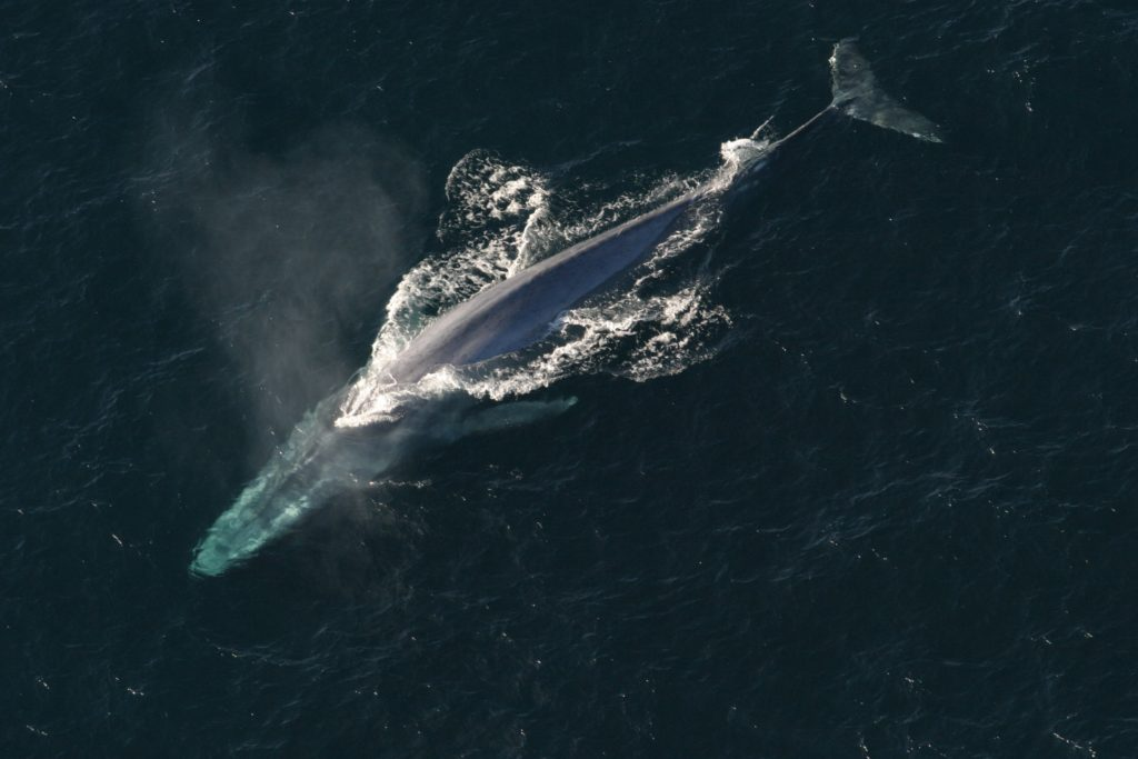 Blue whale - Canadian wildlife